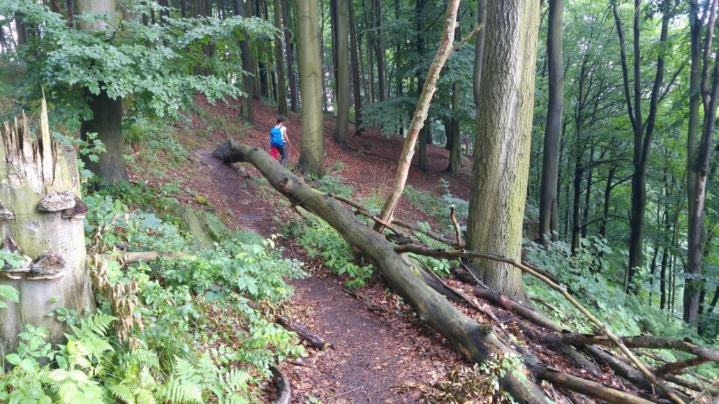 Der Weg durch die Elbleite ist durch viele umgestürzte Bäume oft blockiert.