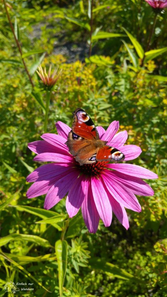 Ein Tagpfauenauge auf einer Blume.
