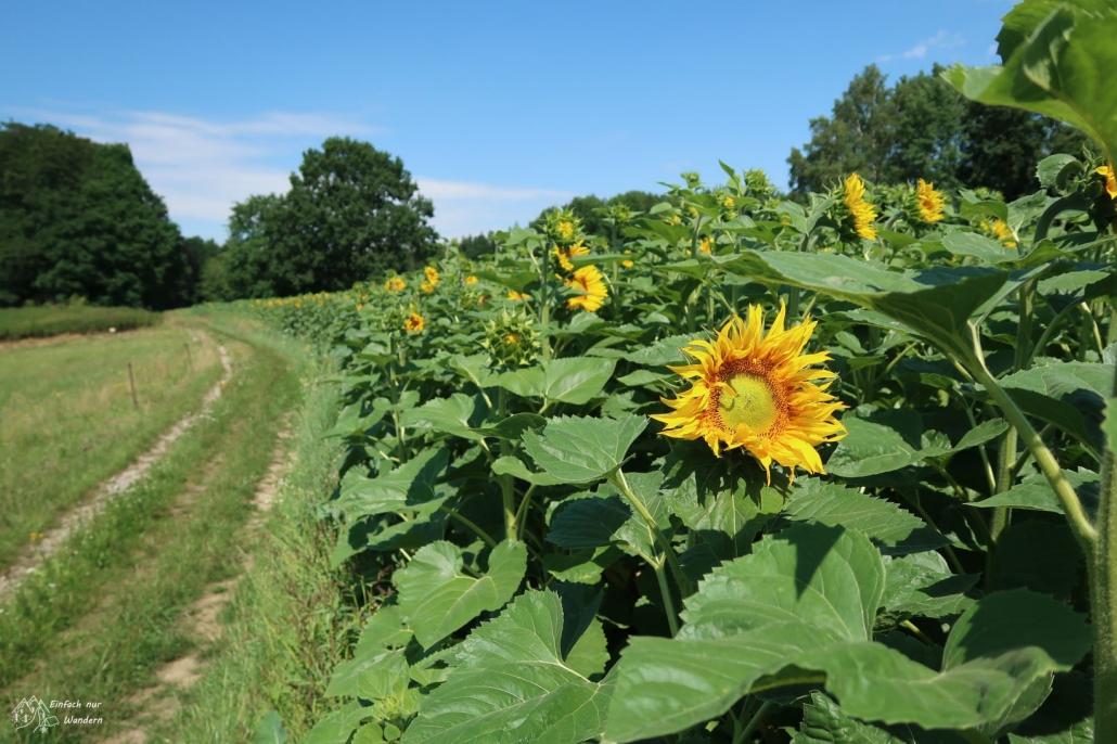 Malerweg - Vorbei an Sonnenblumenfeldern