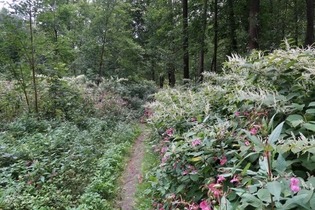 Wir Wandern am Burgstädter Wandertag einem blumiger Waldweg entlang. Dieser führt uns zur Rochsburg.