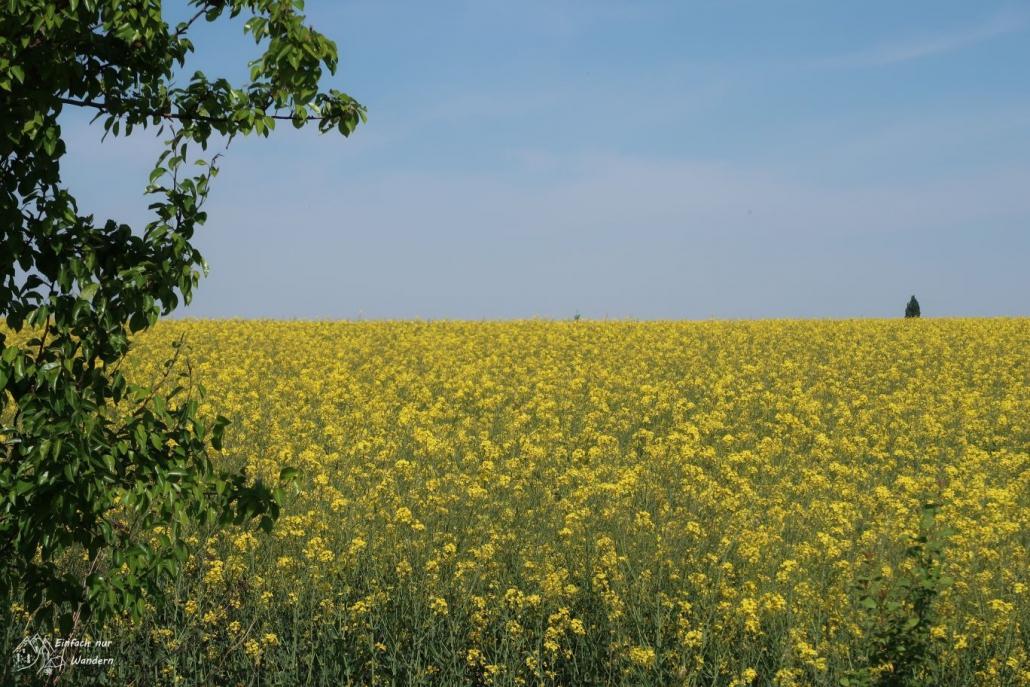 Wir kommen an einem Rapsfeld mit seinen gelben Blüten vorbei.