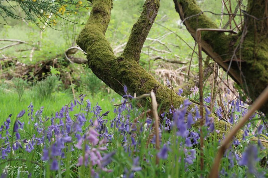 Kaum aus der Stadt erwartet mich der Frühling auf dem West Highland Way mit lila Glockenblumen.