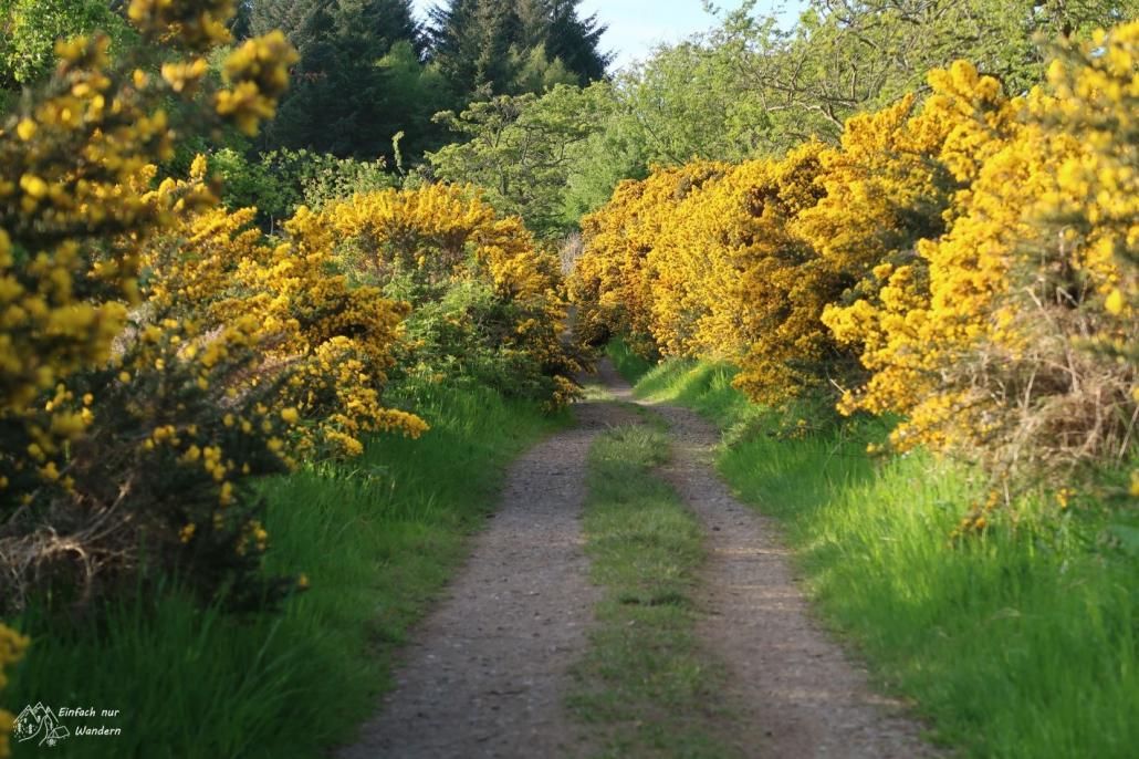 Nach Drymen biegt der West Highland Way vorbei an viel Ginster in den Wald ab.