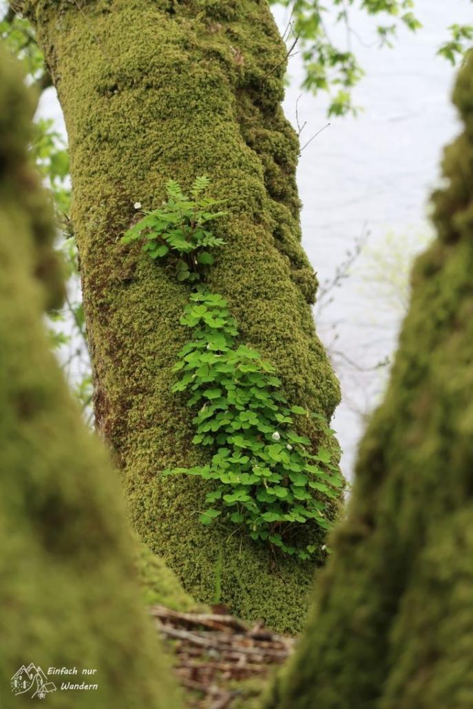 Klee wächst neben Moss auf einem Baum.
