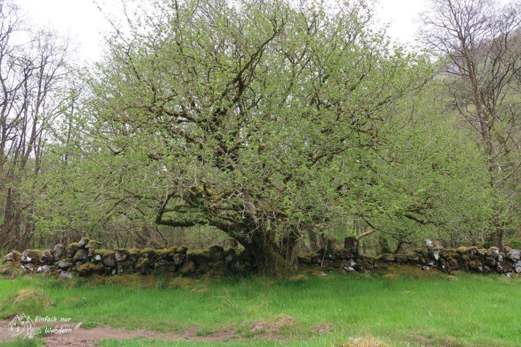 Ein Baum vor einer scheinbar uralten Mauer.