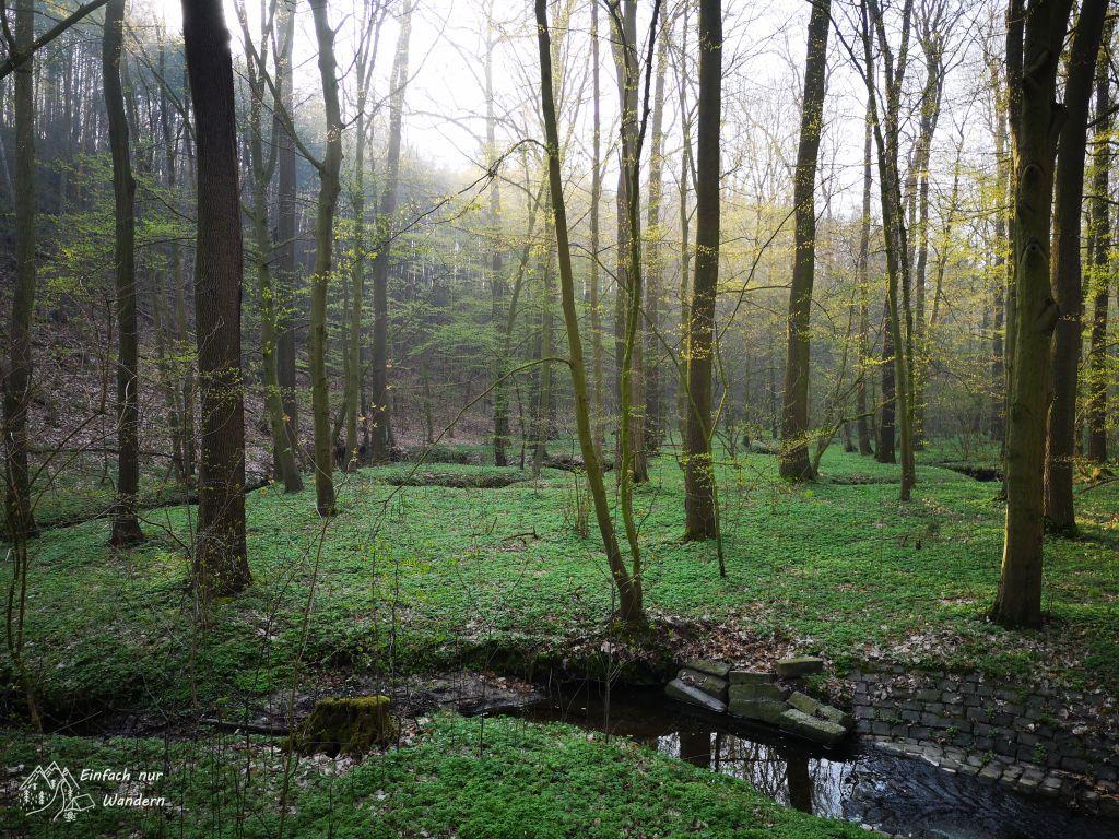 Der Sachsendreier führt durch viel Wald wo derzeit Buschwindröschen wachsen.