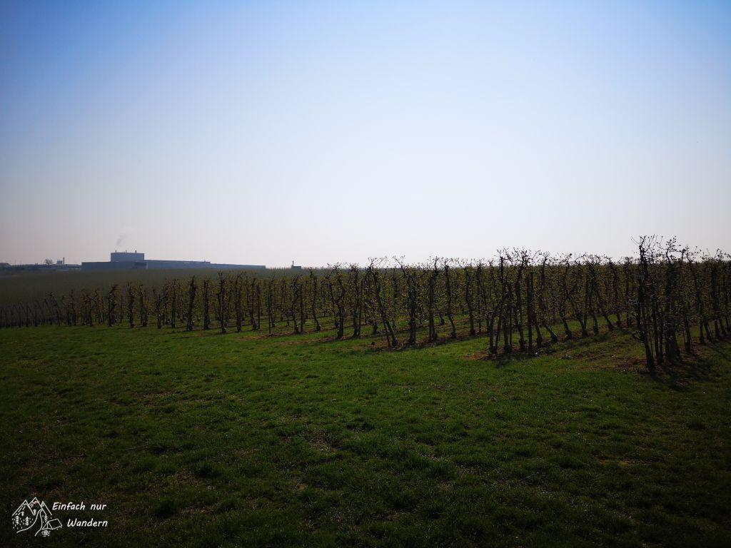 In Leisnig führt der Sachsendreier oft durch Obstplantagen.