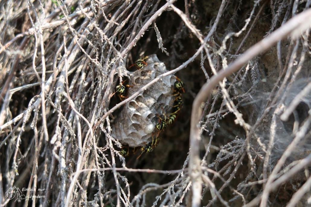 Ein kleines Wespennest zwischen Heidepflanzen