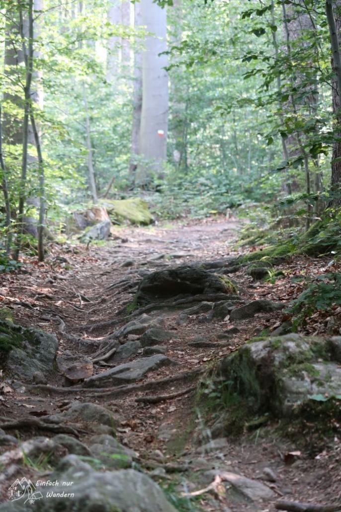 Der Wanderweg Cerchovsteig führt über viele Wurzeln